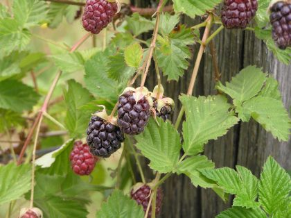 Boysen berries on vine various stages of ripeness uploaded 2017-6-26