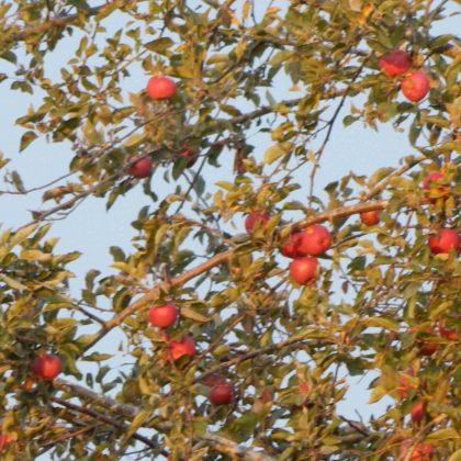 Sunrise Apples 250k